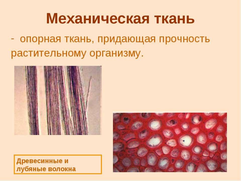 Механическая ткань опорная ткань, придающая прочность растительному организму...