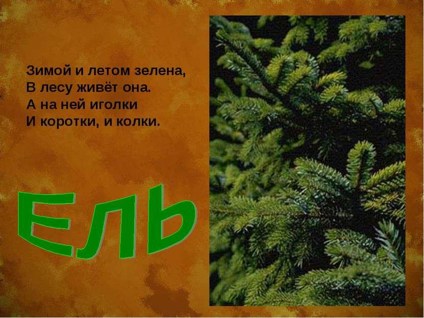 Зимой и летом зелена, В лесу живёт она. А на ней иголки И коротки, и колки.