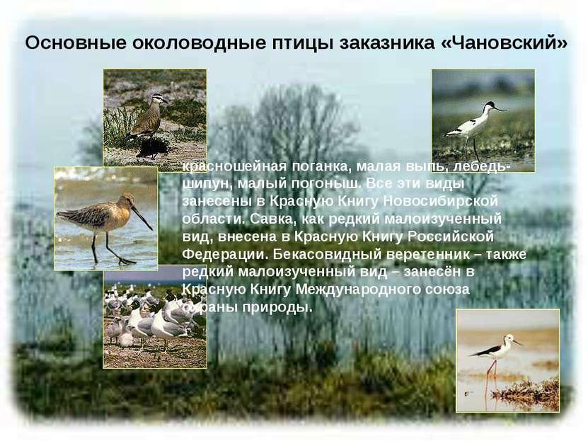 Основные околоводные птицы заказника «Чановский» красношейная поганка, малая ...