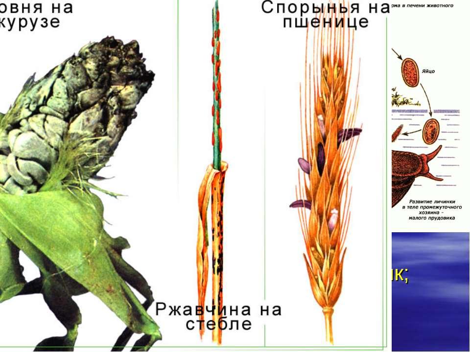 Паразитизм. Макропаразиты растут в теле хозяина, но, размножаясь, образуют ос...