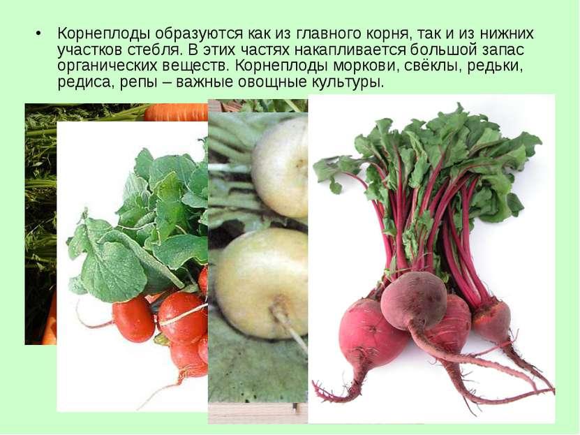 Корнеплоды образуются как из главного корня, так и из нижних участков стебля....