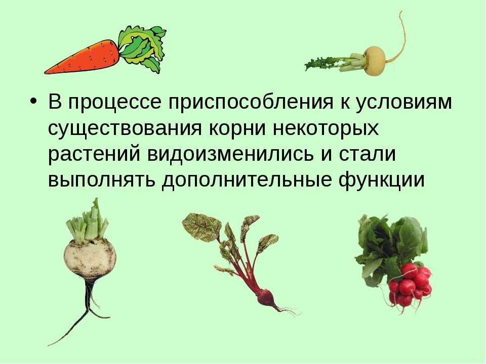 В процессе приспособления к условиям существования корни некоторых растений в...