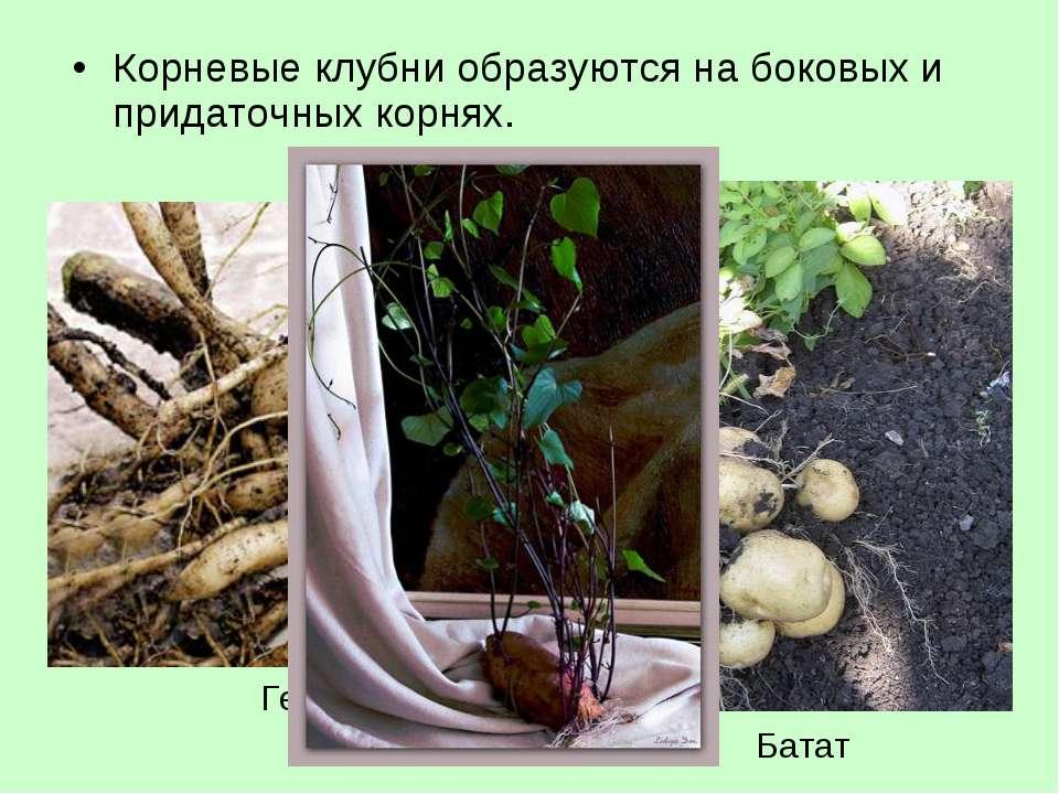 Корневые клубни образуются на боковых и придаточных корнях.