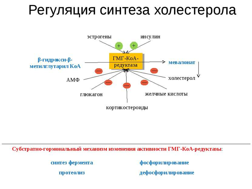 Регуляция синтеза холестерола глюкагон синтез фермента Субстратно-гормональны...