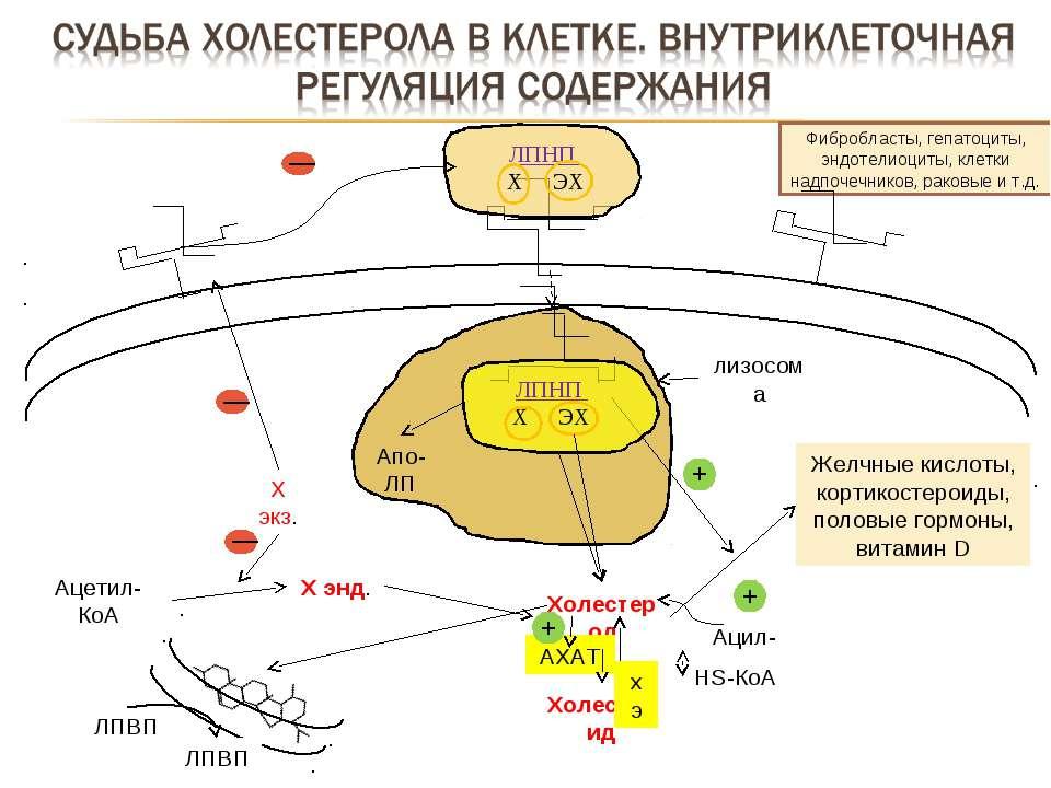 Фибробласты, гепатоциты, эндотелиоциты, клетки надпочечников, раковые и т.д. ...