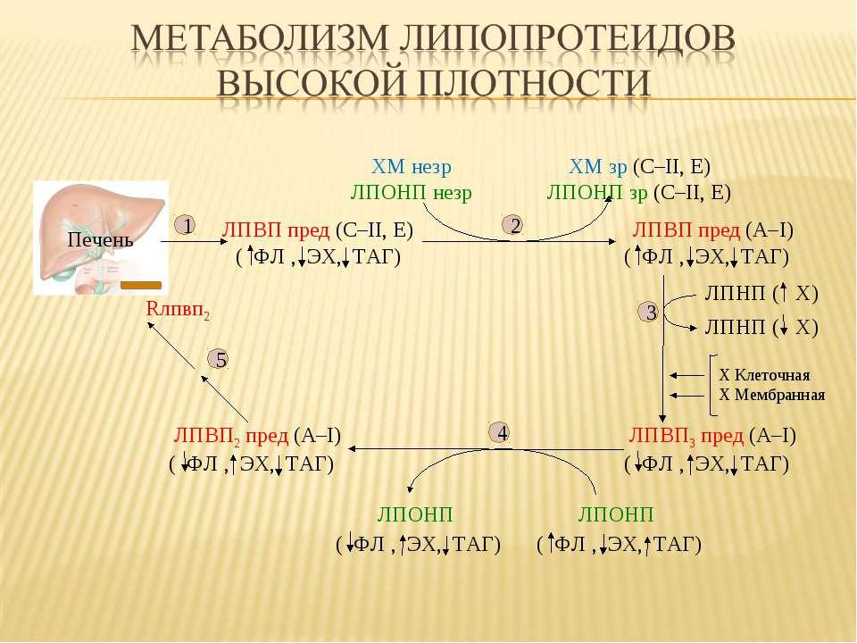 ( Х) ЛПВП пред (С–II, E) ЛПВП пред (А–I) ХМ незр ЛПОНП незр ХМ зр (С–II, E) Л...