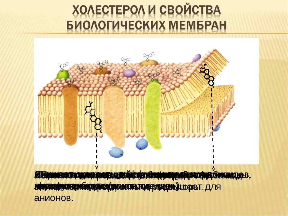 Повышает плотность упаковки фосфолипидов. Ограничивает подвижность жирных кис...