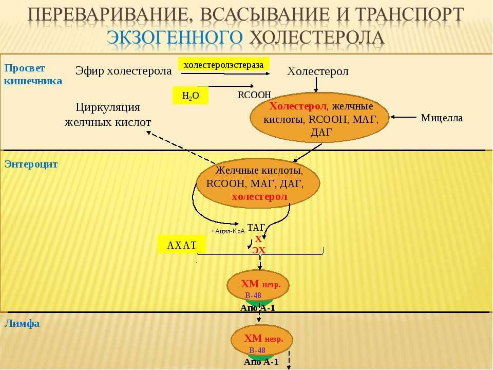 Эфир холестерола Холестерол RCOOH Просвет кишечника ТАГ, Х ЭХ Лимфа Мицелла Э...