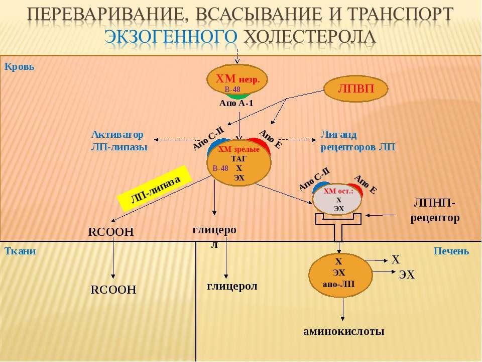 Кровь Ткани ЛПВП ЛПНП-рецептор глицерол RCOOH ЛП-липаза аминокислоты Печень г...