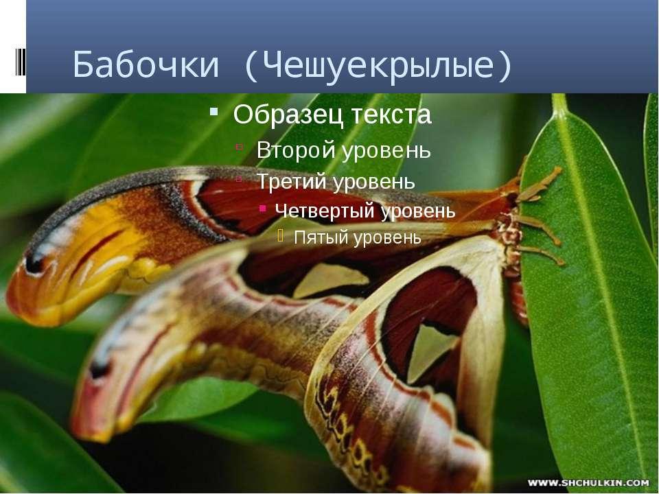 Бабочки (Чешуекрылые)