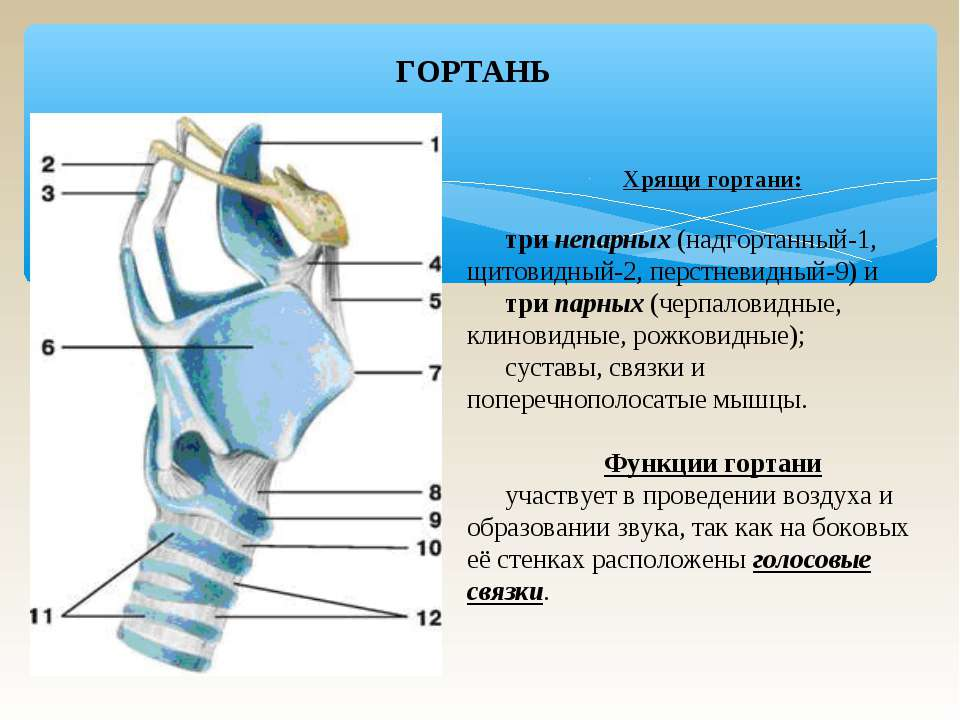 ГОРТАНЬ Хрящи гортани: три непарных (надгортанный-1, щитовидный-2, перстневид...