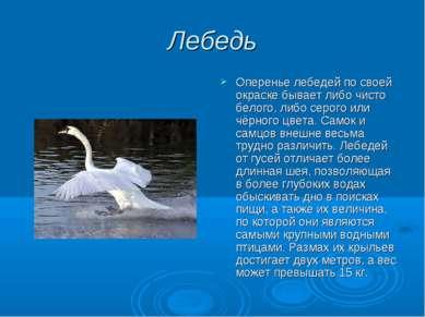 Лебедь Оперенье лебедей по своей окраске бывает либо чисто белого, либо серог...