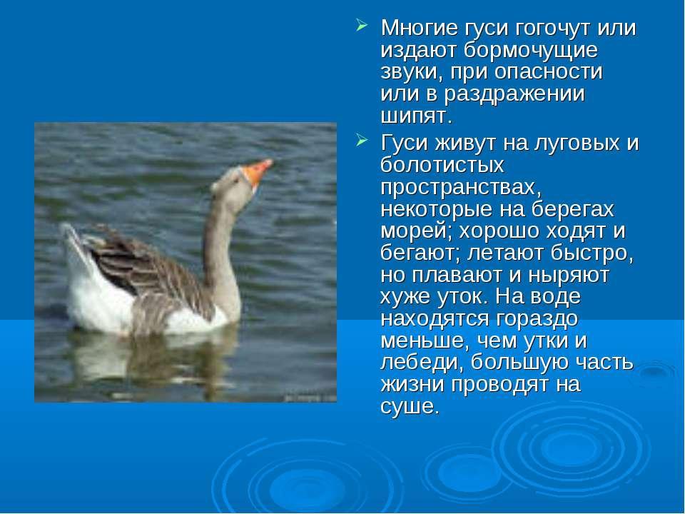 Многие гуси гогочут или издают бормочущие звуки, при опасности или в раздраже...