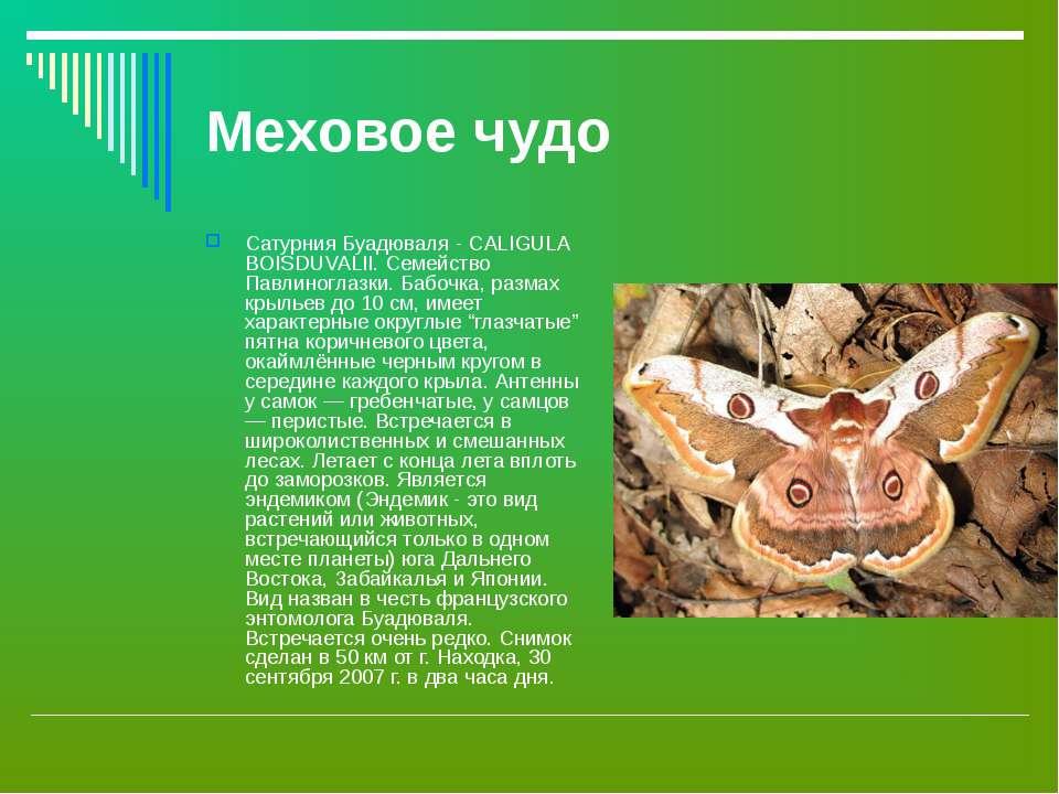 Меховое чудо Сатурния Буадюваля - CALIGULA BOISDUVALII. Семейство Павлиноглаз...