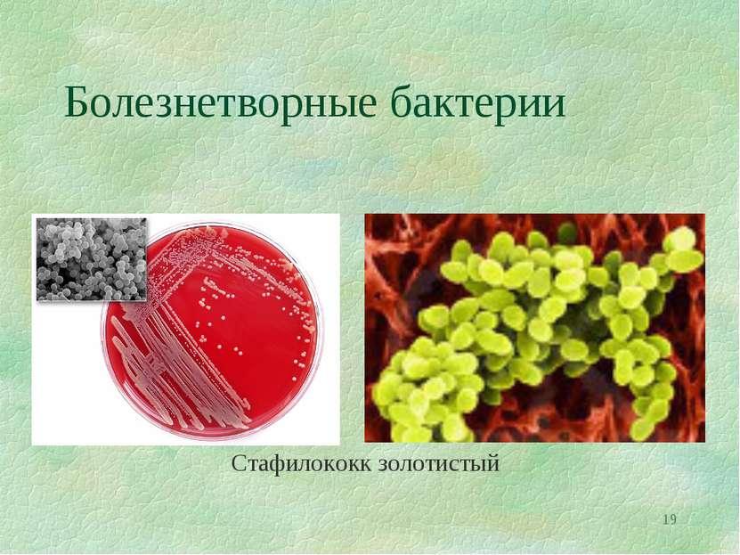 * Болезнетворные бактерии Стафилококк золотистый