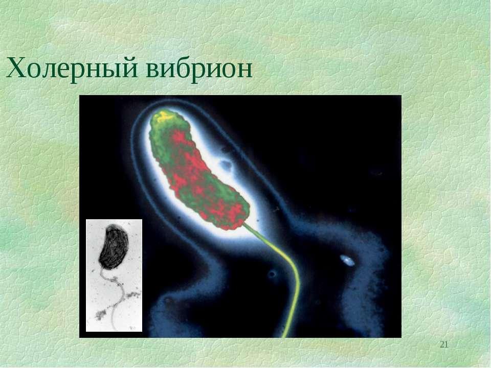 * Холерный вибрион