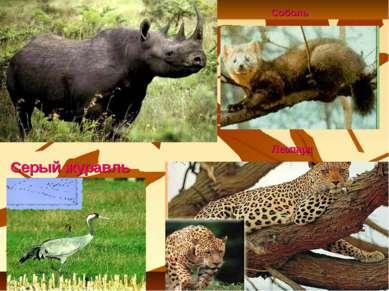 Леопард Серый журавль Соболь