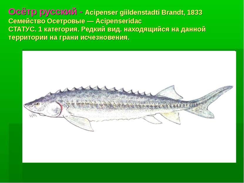 Осётр русский - Acipenser giildenstadti Brandt, 1833 Семейство Осетровые — Ac...