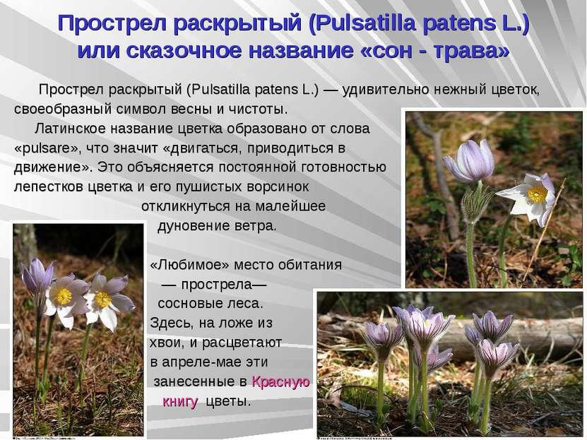 Прострел раскрытый (Pulsatilla patens L.) или сказочное название «сон - трава...