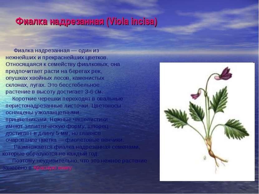 Фиалка надрезанная (Viola incisa) Фиалка надрезанная — один из нежнейших и пр...