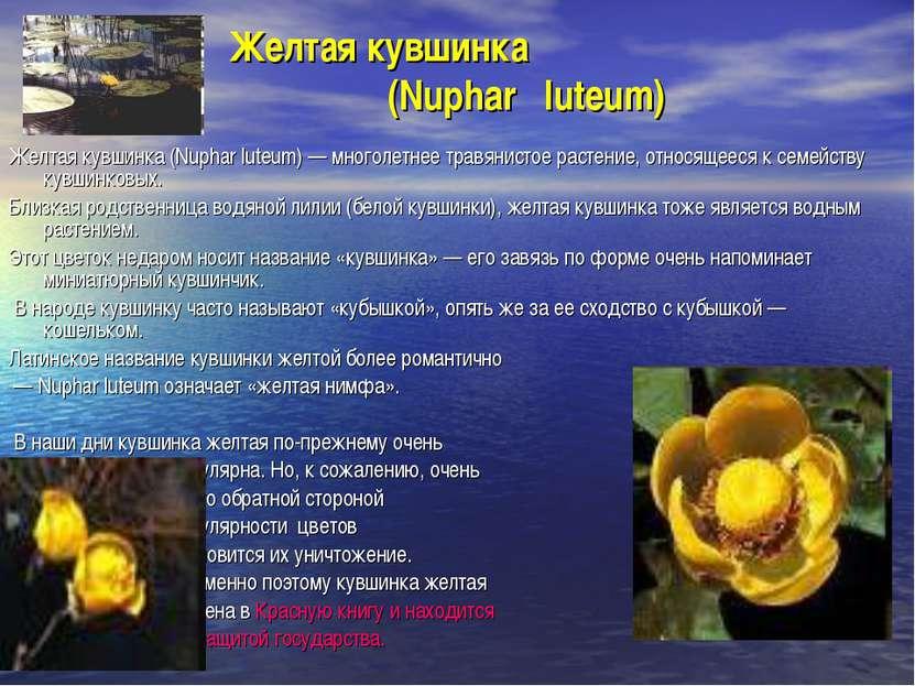 Желтая кувшинка (Nuphar luteum) Желтая кувшинка (Nuphar luteum) — многолетнее...