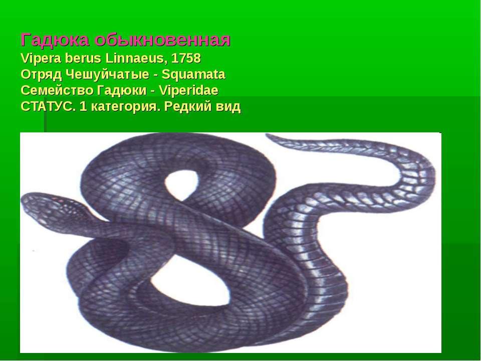 Гадюка обыкновенная Vipera berus Linnaeus, 1758 Отряд Чешуйчатые - Squamata С...