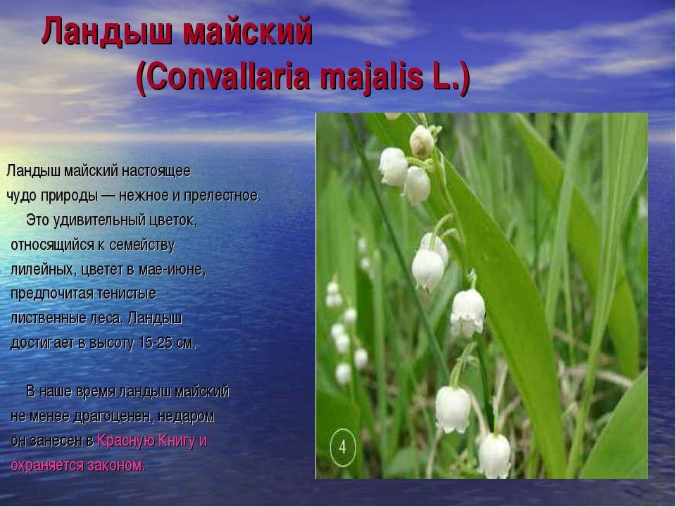 Ландыш майский (Convallaria majalis L.) Ландыш майский настоящее чудо природы...