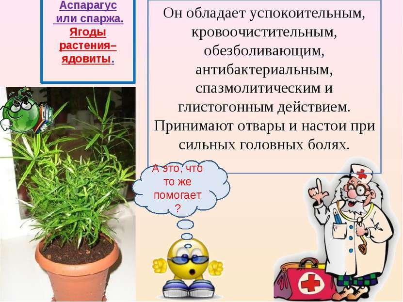 Аспарагус или спаржа. Ягоды растения– ядовиты. Он обладает успокоительным, кр...