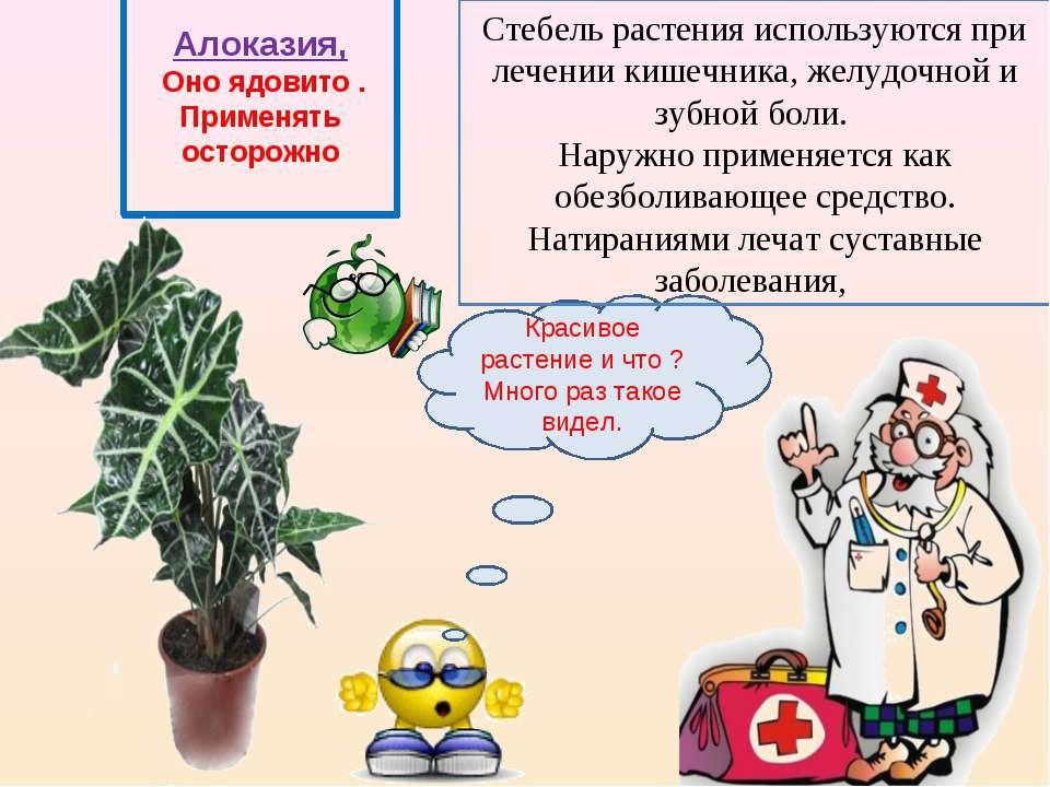 Алоказия, Оно ядовито . Применять осторожно Красивое растение и что ? Много р...