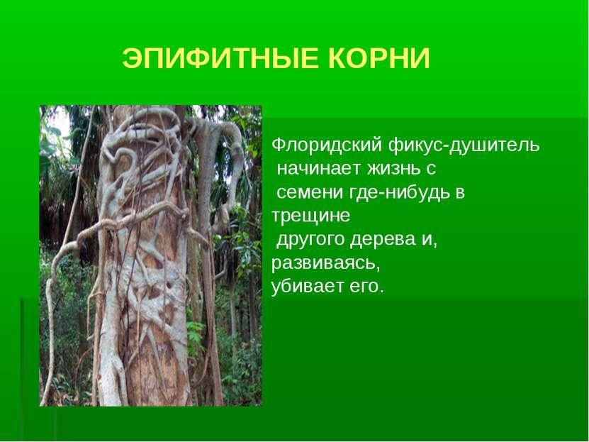 ЭПИФИТНЫЕ КОРНИ Флоридский фикус-душитель начинает жизнь с семени где-нибудь ...