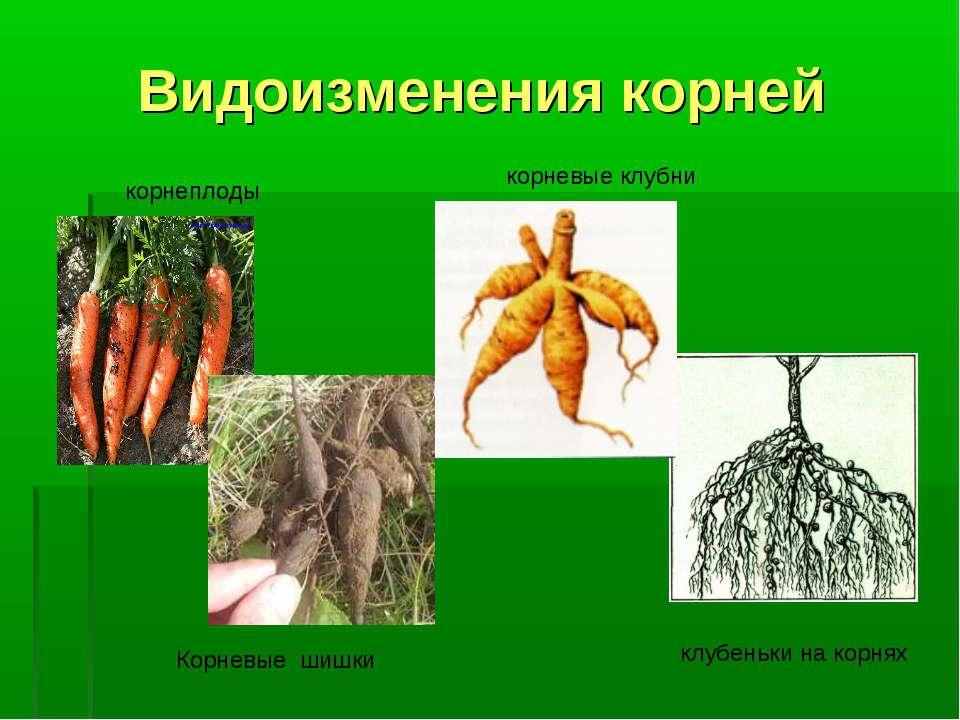Видоизменения корней корнеплоды корневые клубни Корневые шишки клубеньки на к...