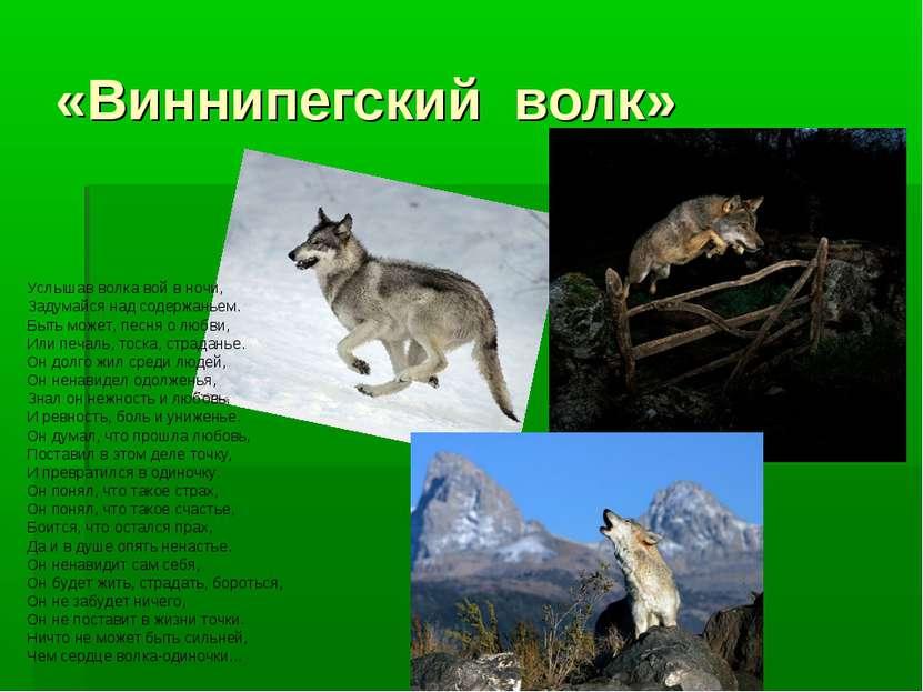 «Виннипегский волк» Услышав волка вой в ночи, Задумайся над содержаньем. Быть...