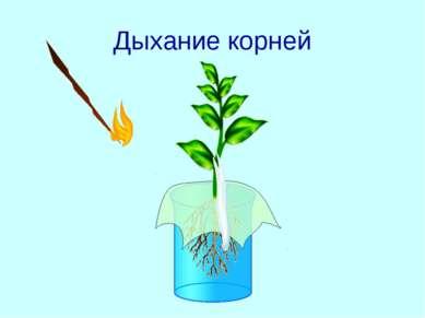 Дыхание корней