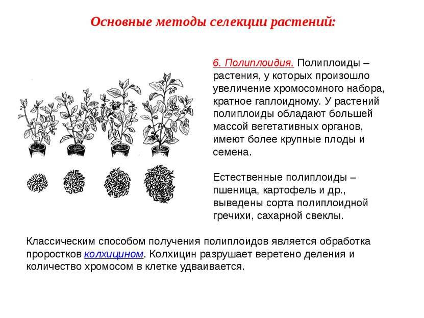 6. Полиплоидия. Полиплоиды – растения, у которых произошло увеличение хромосо...