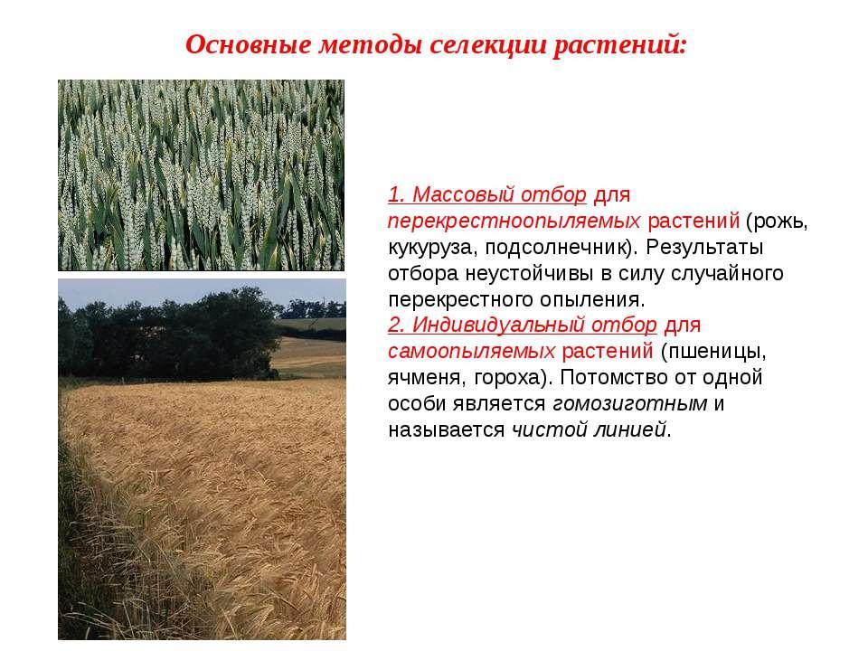 1. Массовый отбор для перекрестноопыляемых растений (рожь, кукуруза, подсолне...