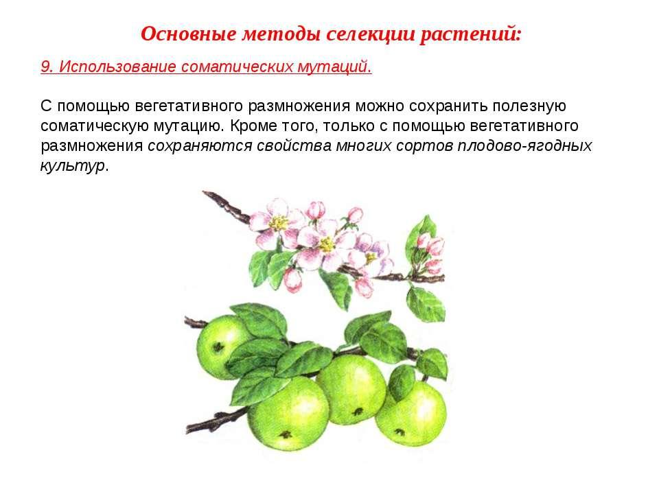 9. Использование соматических мутаций. С помощью вегетативного размножения мо...