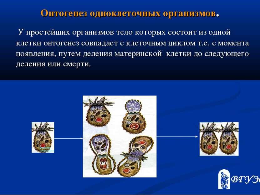Онтогенез одноклеточных организмов. У простейших организмов тело которых сост...