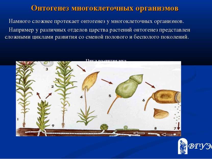 Онтогенез многоклеточных организмов Намного сложнее протекает онтогенез у мно...