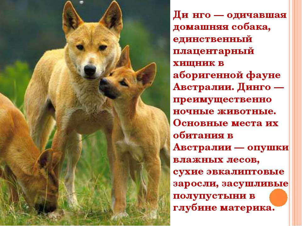 Ди нго — одичавшая домашняя собака, единственный плацентарный хищник в абориг...