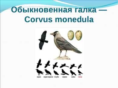 Обыкновенная галка — Corvus monedula