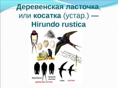 Деревенская ласточка, иликосатка(устар.)— Hirundo rustica