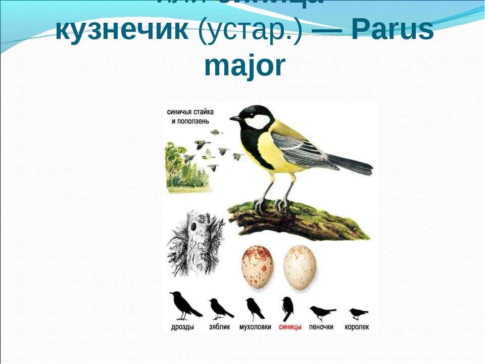 Большая синица, илисиница-кузнечик(устар.)— Parus major