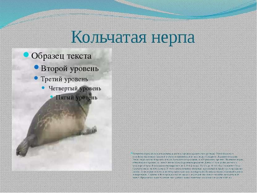 Кольчатая нерпа Кольчатая нерпа является исконным жителем сурового арктическо...