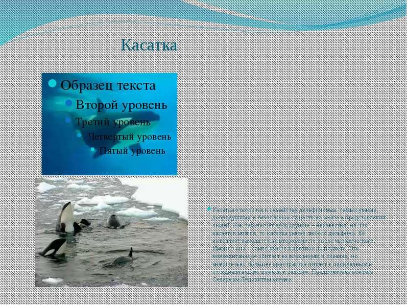 Касатка Касатка относится к семейству дельфиновых. самых умных, добродушных и...