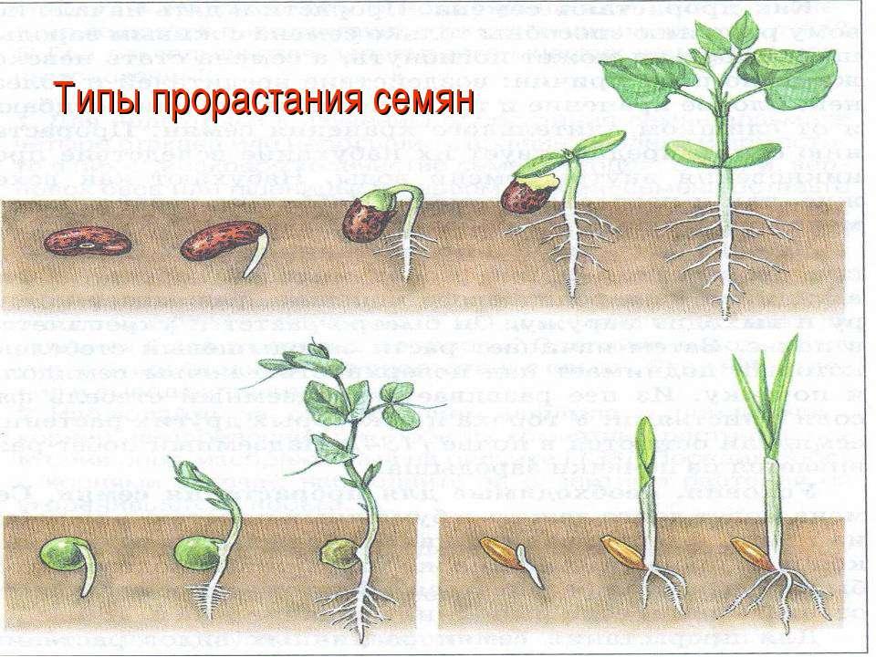Типы прорастания семян