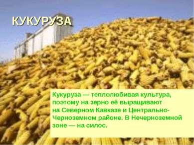 КУКУРУЗА Кукуруза— теплолюбивая культура, поэтому назерно еёвыращивают на...