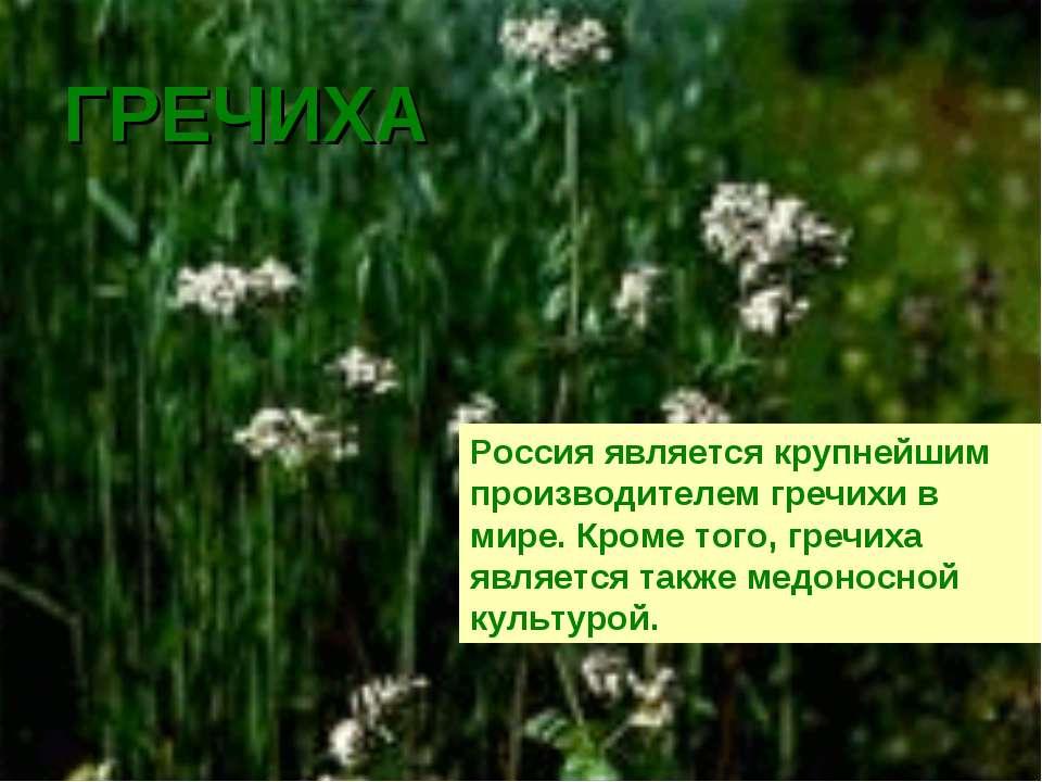 ГРЕЧИХА Россия является крупнейшим производителем гречихи в мире. Кроме того,...