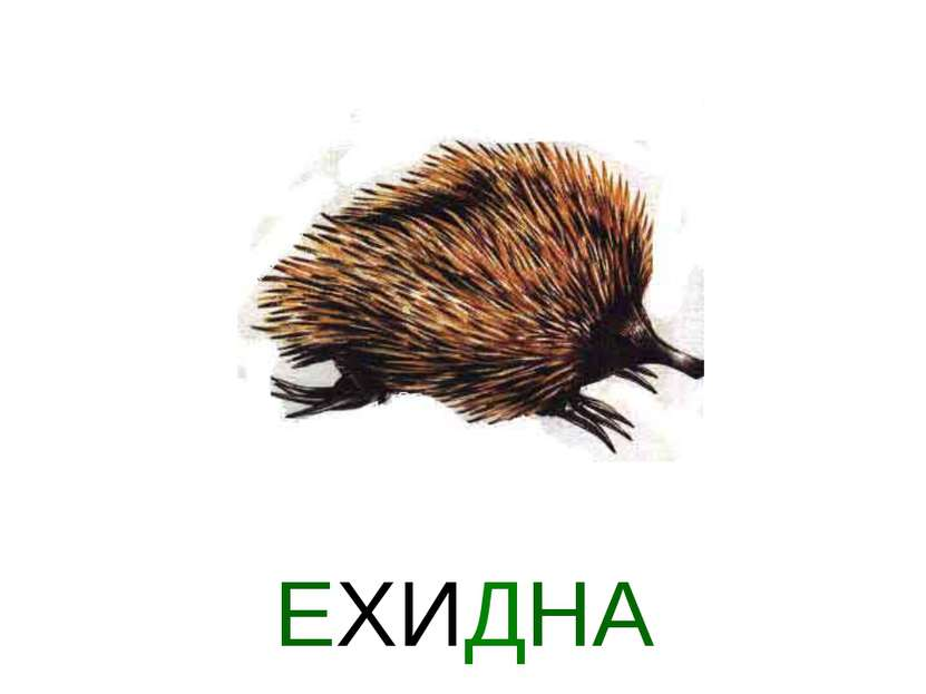 Презентация животные австралие