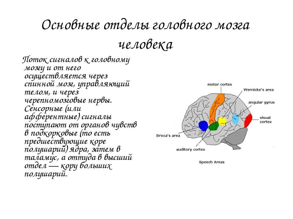 Основные отделы головного мозга человека Поток сигналов к головному мозгу и о...