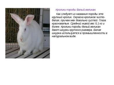 Кролики породы Белый великан. Как следует из названия породы это крупный крол...